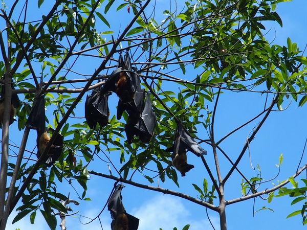 royal botanic garden of Sri Lanka Bat Bats Beauty In Nature Ceylan Ceylon Fruit Bat Fruit Bats Megabat Megabats Nature Park - Man Made Space Peradeniya Royal Botanic Garden Sri Lanka
