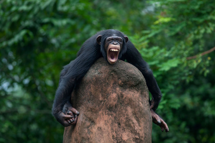 Angry Chimpanzee On Rock At Zoo