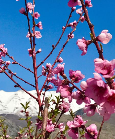 EyeEmNewHere Growth Flower Nature Tree Beauty In Nature Freshness Low Angle View Fragility Branch Clear Sky In Bloom Sky Pink Color Springtime Blossom No People Outdoors Twig Sunlight Close-up