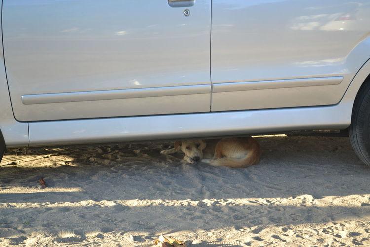 Car Day Dog