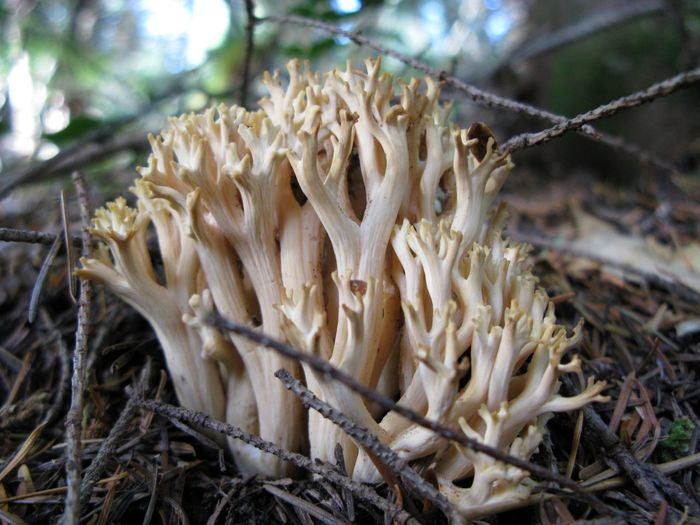 Beauty In Nature Close-up Day Dry Field Focus On Foreground Food Forest Freshness Fungus Growing Growth Mushroom Nature No People Outdoors Plant Ramaria Selective Focus