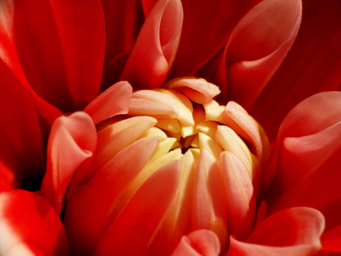 Growing up Dahlia Flower Red Flower Buds Macro Flowering Plant Petal Plant Freshness Fragility Vulnerability  Close-up Beauty In Nature Flower Head Inflorescence Growth No People Nature Full Frame Extreme Close-up