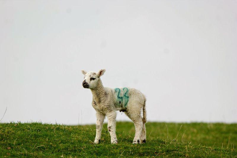 Lamb standing in a field
