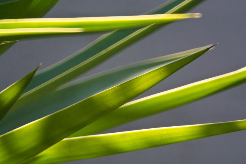Yucca Beauty In Nature Close-up Day Freshness Green Color Growth Leaf Nature No People Outdoors Plant Yuccaplant
