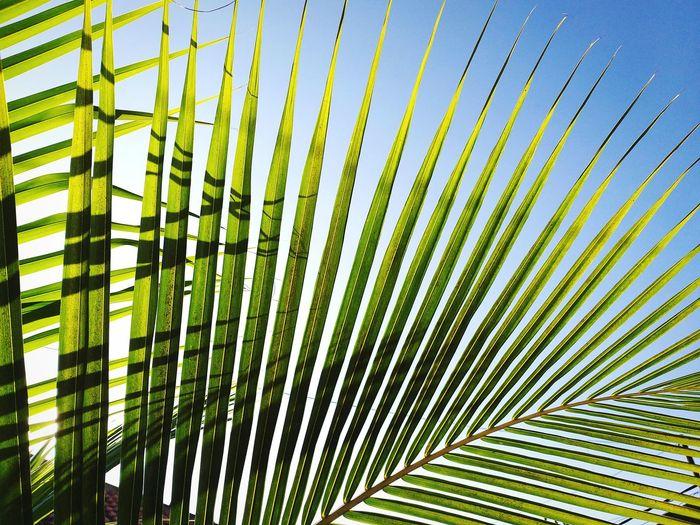 🌴 Tree Palm