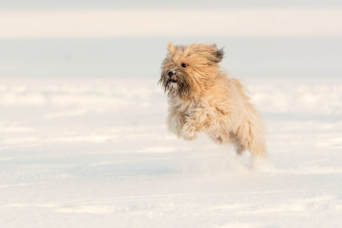 Fun in the snow Fun Hund Animal Themes Day Dog Domestic Animals Motion Nature No People One Animal Outdoors Pets Running Snow Tibet Terrier Winter