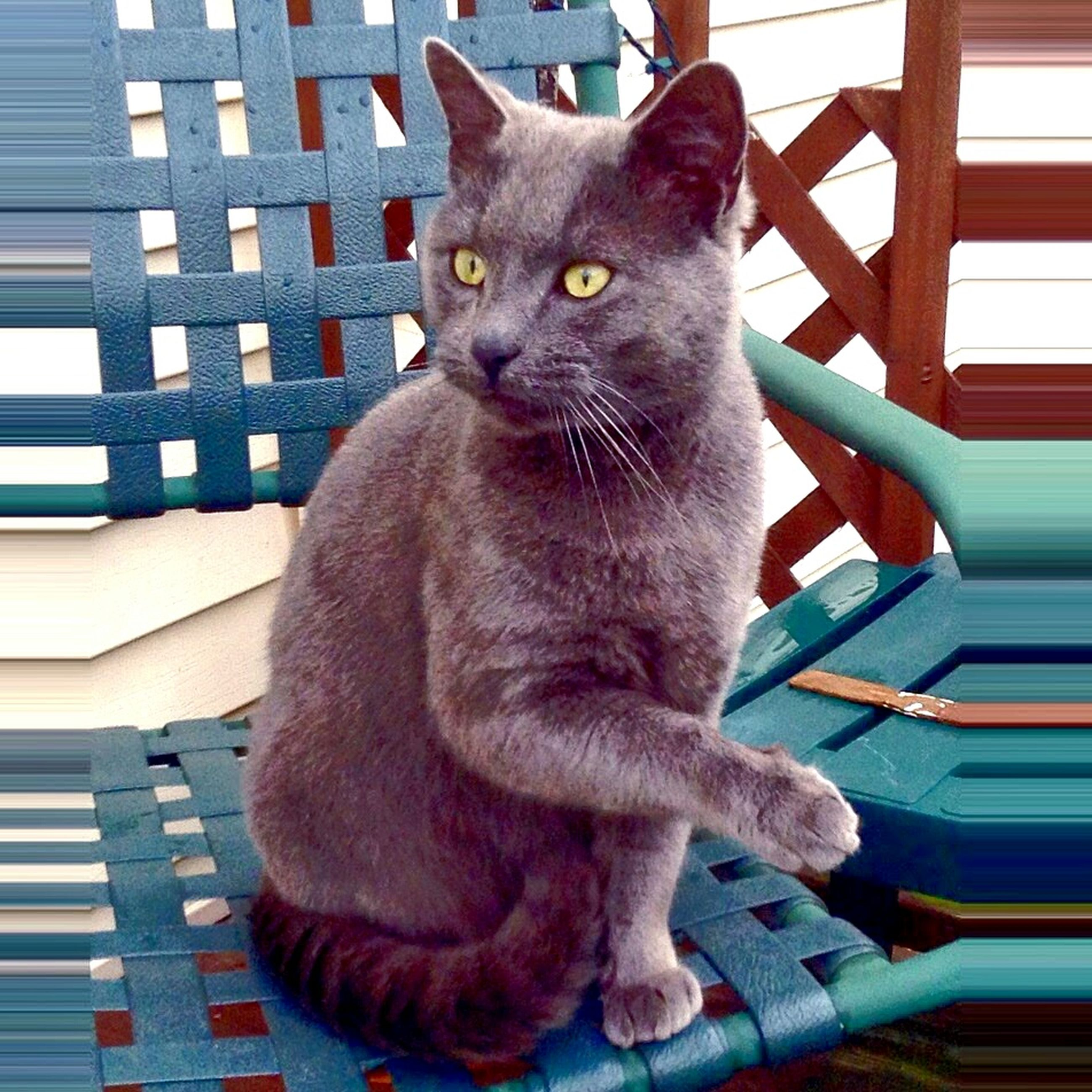 domestic cat, pets, one animal, cat, domestic animals, animal themes, mammal, feline, whisker, sitting, portrait, looking at camera, indoors, staring, close-up, relaxation, alertness, full length, zoology