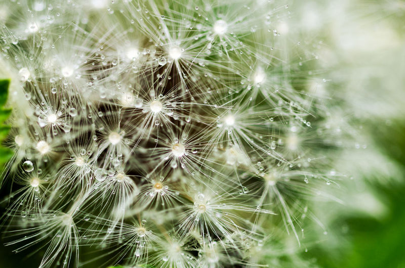 Fragility Beauty In Nature Plant Flower Vulnerability  Flowering Plant Dandelion Growth Close-up Freshness Nature Selective Focus No People Backgrounds Full Frame Day Dandelion Seed Softness Outdoors Tranquility Flower Head Dew