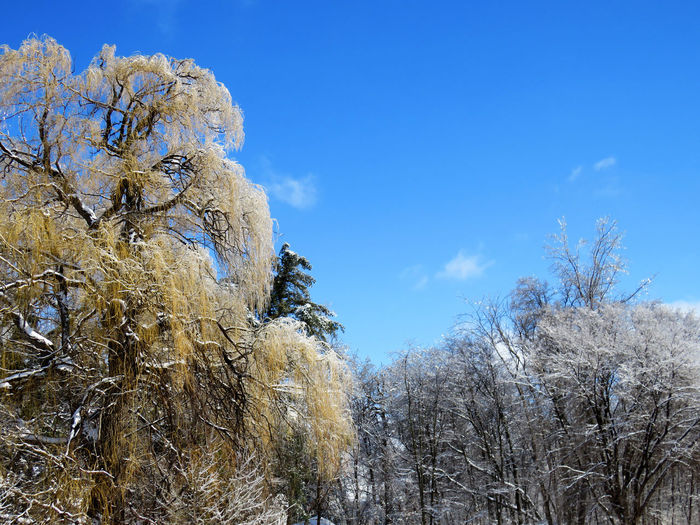 Willow tree covered of ice sparkling like gold nuggets and a blue sky Plant Tree Sky Cold Temperature Winter Snow Beauty In Nature Nature No People Day Tranquility Low Angle View Growth Blue Frozen Cloud - Sky Scenics - Nature Branch Outdoors