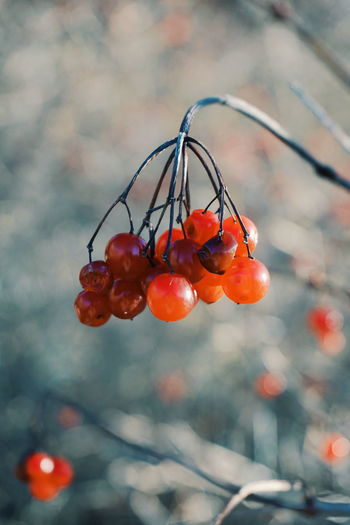 EyeEm Selects Food And Drink Fruit Red Tree No People Freshness Focus On Foreground Day Outdoors Growth Close-up Nature Winter Leaf Branch Beauty In Nature Berries Berries Collection Red And Blue Berry Berry Fruit Beauty In Nature Nature Freshness