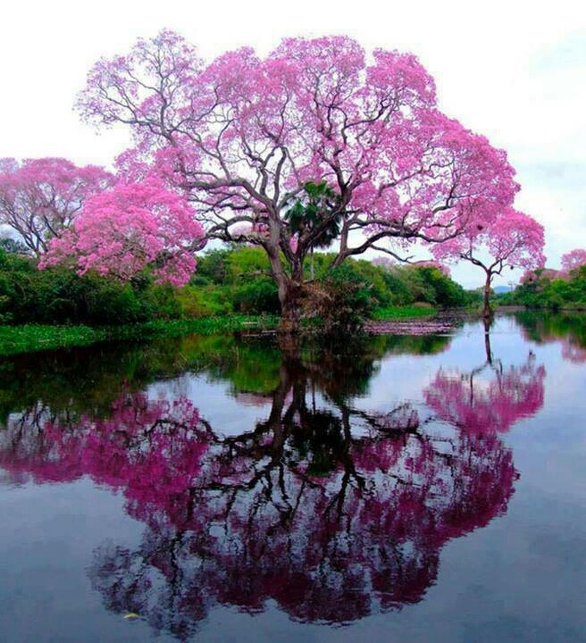 tree, water, reflection, flower, beauty in nature, pink color, lake, branch, tranquility, tranquil scene, nature, growth, sky, scenics, waterfront, river, freshness, day, outdoors, blossom
