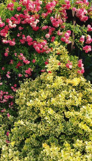 Roses in thé garden, roses du jardin;Flower Nature Plant Pink Color