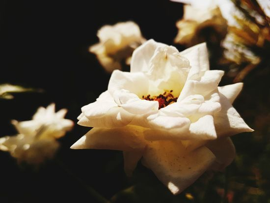 White Rose Flower Flower Head Bukidnon Flowers Beauty In Nature Close-up Plant Sunlight Outdoors Nature EyeemPhilippines