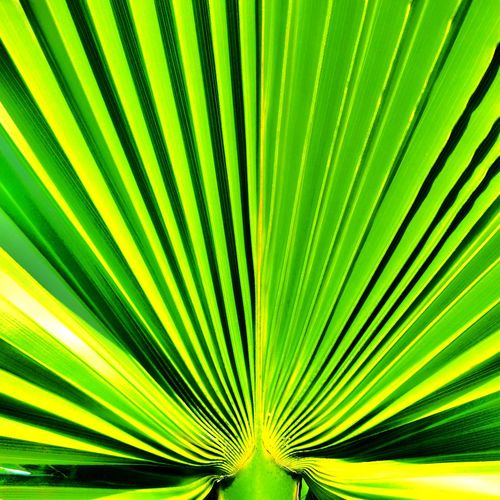 Tree Palm Tree Frond Fanned Out Leaf Backgrounds Flower Full Frame Palm Leaf Textured  The Minimalist - 2019 EyeEm Awards