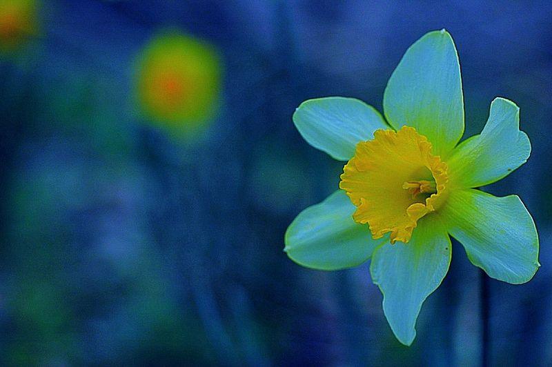 月夜のラッパスイセン。 マルク トカゲ シャガール作 Enjoying Life Hello World Cheese! Hanging Out Check This Out 春 Spring Colors Blue Spring Colours EyeEm Flower 水仙 Blue Hour Light And Shadow Art