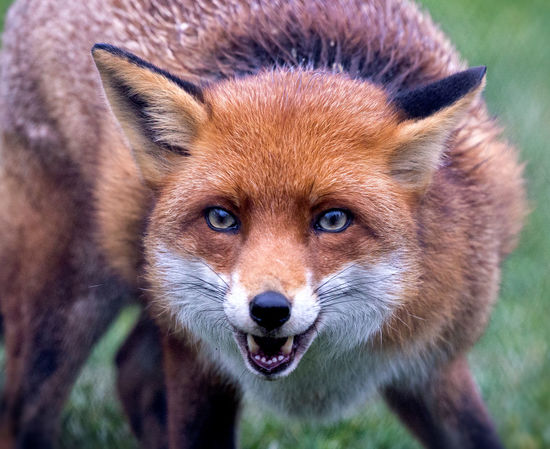 Closeup of a red fox British Close-up Face Fox Portrait Red Wildlife