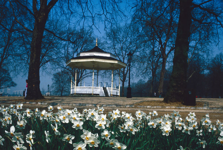 Daffodils in Spring Bandstand In London Park Bare Tree Beauty In Nature Flower Freshness Growth Nature Outdoors Park - Man Made Space Plant Sky Tree
