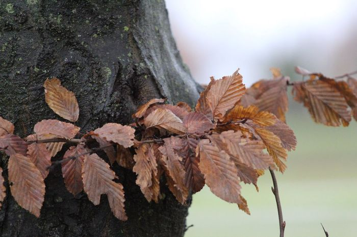 Leaf Autumn Change Nature Dry Outdoors Day Tree Beauty In Nature No People Close-up Sky Fragility Maple Brown Autumn17 Autumn Herbst17 🦋