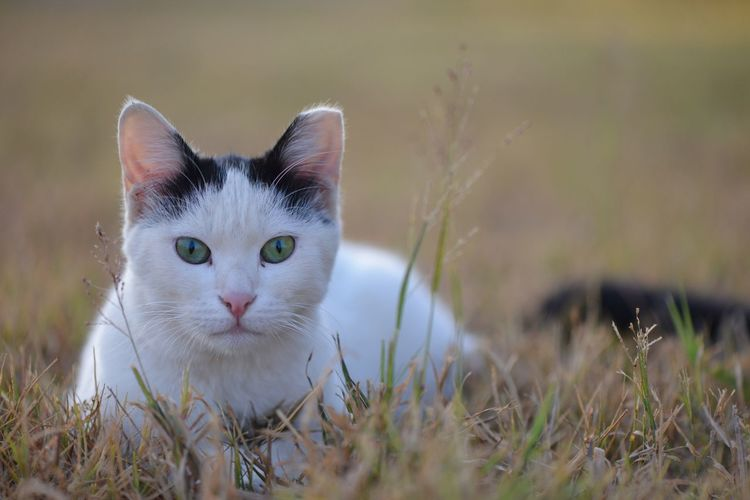 Cat Animal Pets Animal Themes Mammal Feline Domestic Domestic Cat Domestic Animals One Animal Portrait Looking At Camera Grass Whisker Nature Field Day