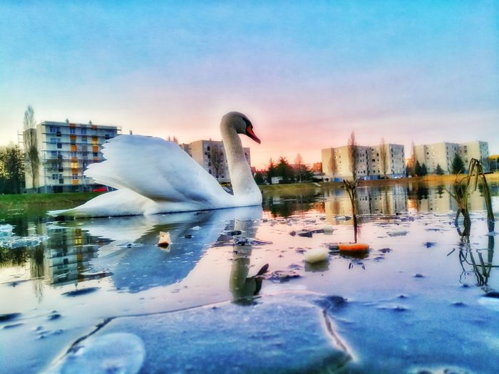 Water No People Animal Themes Outdoors City Sky Swimming Day Swan Győr PhonePhotography Winter
