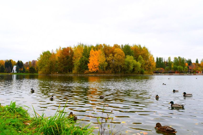 Tree Lake Reflection Water Bird Travel Destinations Water Bird Sky Outdoors Multi Colored Nature Autumn Reflection Lake Day No People Grass Beauty In Nature Animal Themes Natural Parkland Relaxing Lucky Duck Ducks At The Lake Morning Work Way