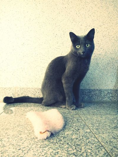 RussianBlue Russischblau Russian Cat Katze Cats 🐱 Miezekatze Mietz Germany Germany🇩🇪