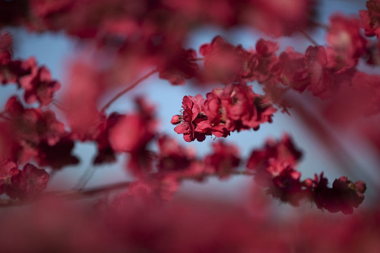Close-up of red flowers against blurred background
