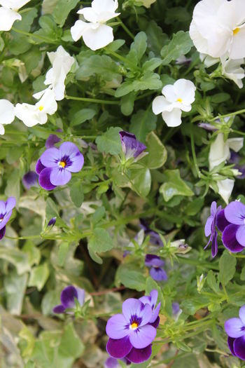 French flowers French Flowers Green Color Purple White