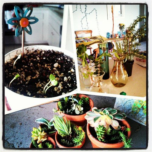 I love not paying a dime for plants :) thank you Loma for giving me such a wonderful selection of starts! Best of all, my Jacaranda seeds sprouted! Itsnotstealing Itssharingcreation Succulentsfordays Ficusvine periwinklevinca Rosemary greenthumb iloveplants hippiester