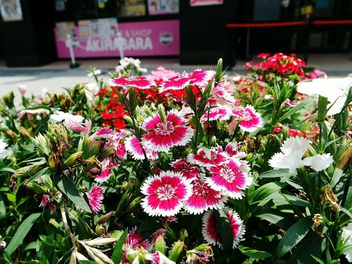 What do you call these pretty (wild? ) flowers? 😄😀😁 Akihabara Tokyo,Japan Flowers Wild Flowers Pretty Flowers Pink The Traveler - 2015 EyeEm Awards The Street Photographer - 2015 EyeEm Awards Pinay Traveler AnnelGomez
