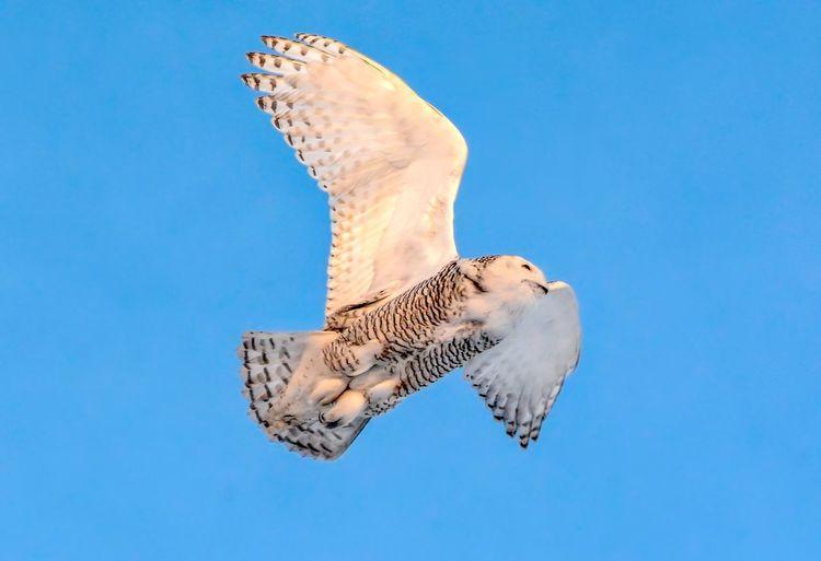 Quiet flight Wildlife Snowy Owl Streamzoofamily Malephotographerofthemonth Animal Animal Themes Animal Wildlife Animals In The Wild Low Angle View Sky No People