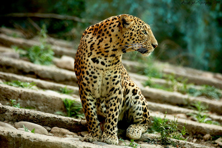 Leopard looking away