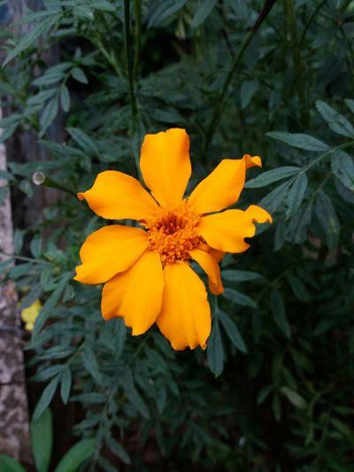 Flowers, yellow Lemon By Motorola
