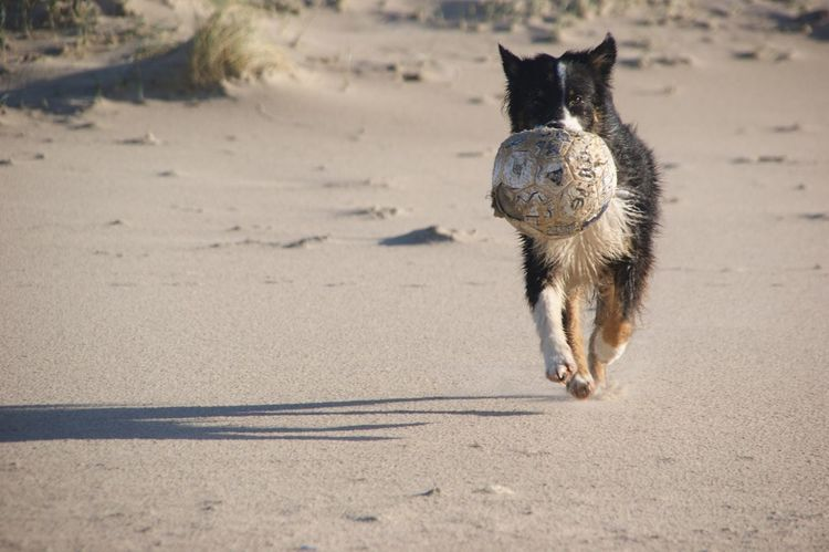 Noord-Holland Julianadorp Aussies Australian Shepherd  Fussball