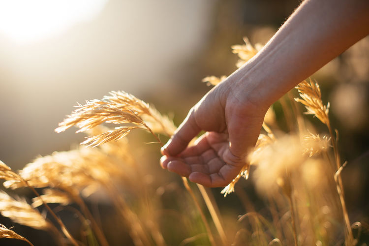 Close-up of hand holding wheat growing in farm
