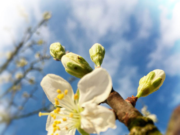 Beauty In Nature Blue Sky Botany Close-up Day Fragility Freshness GReEngage Greengage Blossoms IPhoneography Low Angle View No People Perspective Selective Focus Spring Springtime Tranquil Tree White Buds White Color