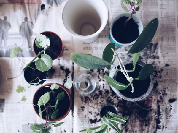 High Angle View Indoors  No People Table Plant Close-up Day Nature Overhead View Full Frame Plants And Flowers Potting Soil Flower Nature Bowl Variation Replanting Top Perspective Fragility Young Plant Veins Potted Plants New Life Close Up Fresh