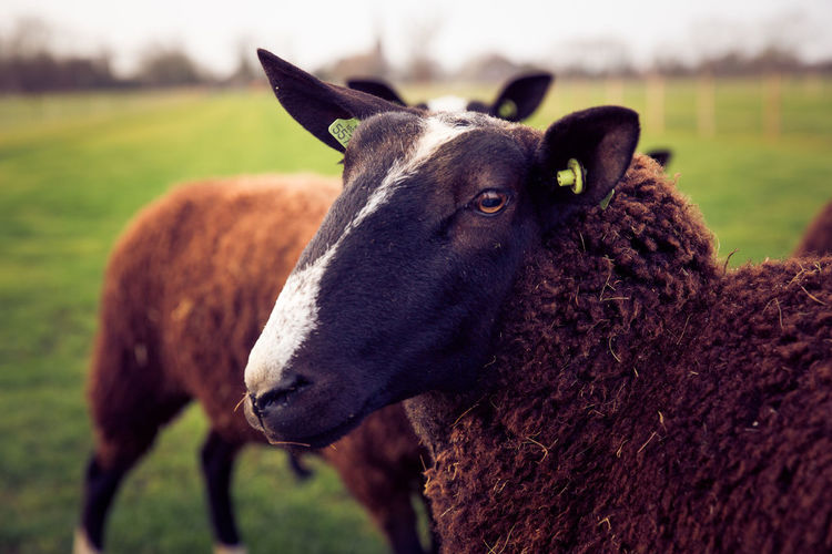 Close-up of brown sheep in the field Farm Farm Life Animal Themes Brown Brown Sheep Close-up Day Domestic Animals Field Focus On Foreground Grass Livestock Looking At Camera Mammal Nature No People One Animal Outdoors Portrait Sheep Sheep In Field Sheeps Sheepskin