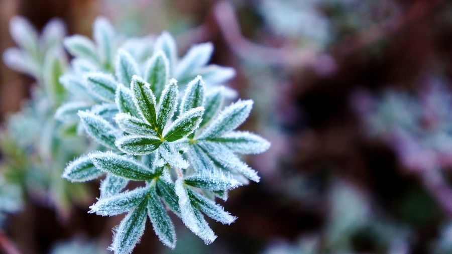 Green leaves covered in fog frost. Beauty In Nature Botany Close-up Depth Of Field Focus On Foreground Fragility Freshness Frost Frosty Frosty Leaves Frosty Morning Growth Leaf Nature Plant Selective Focus Softness Winter Winter Wonderland Wintertime