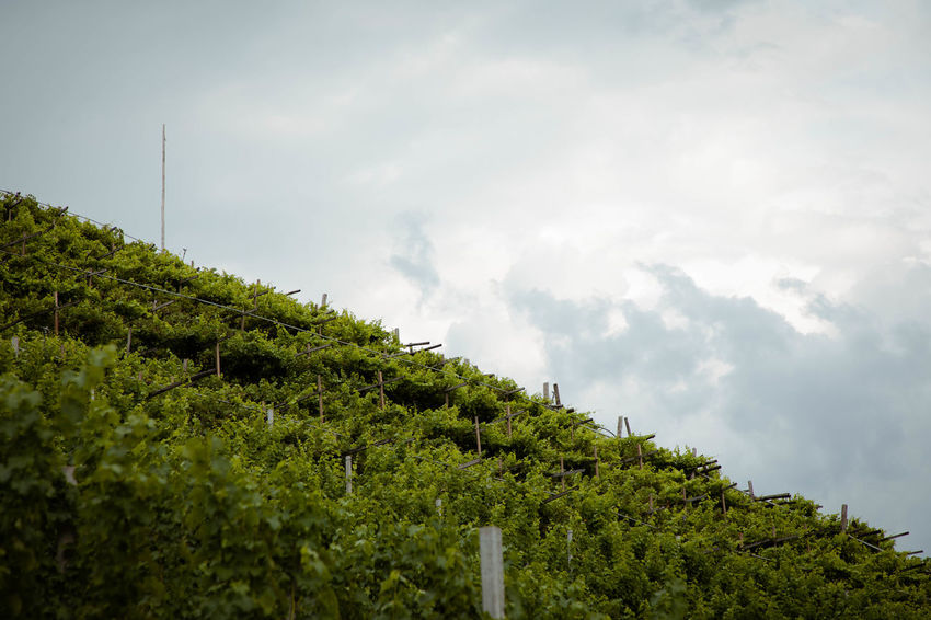 vineyard in the sky Agriculture Beauty In Nature Cloud - Sky Day Environment Green Color Growth Land Landscape Low Angle View Nature No People Outdoors Plant Plantation Scenics - Nature Sky Tranquil Scene Tranquility Tree Vineyard Winemaking