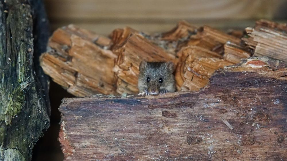 field mouse 🐭 Field Mouse Wildlife Mouse Rodent Animal Themes One Animal Mammal No People Wood - Material Domestic Animals Domestic Cat Animals In The Wild Animal Wildlife Nature Close-up