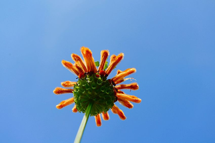 Lion's Ear Leonotis Leonurus Botany Blue Plant Nature No People Growth Flower Sky Beauty In Nature Flowering Plant Day Outdoors Copy Space Freshness Low Angle View Flower Head Inflorescence Fragility Clear Sky Blue Background Close-up