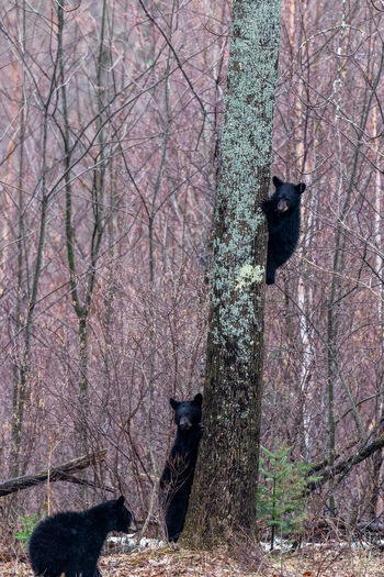 Bears climbing on tree in forest