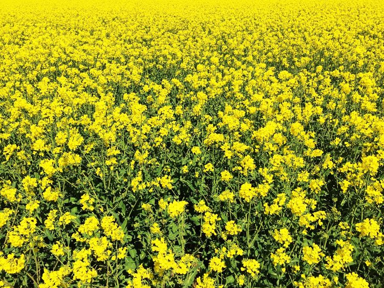 Yellow Flower Oilseed Rape Mustard Plant Nature Crop  Beauty In Nature IPhone Photography Hintergrund Raps EyeEm Nature Lover Gelb Monochrome Photography Cultivated Land Field Fragility Blossom Springtime Abundance Growth Farm Tranquility Cultivated Vibrant Color Botany