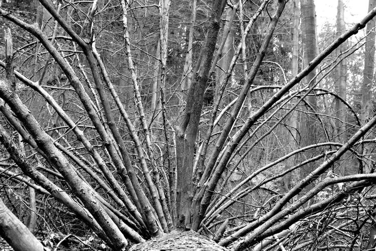 Bare Tree Bark Black And White Branch Close-up Day Dead Tree Forest Growth Harz Nationalpark Harz Nature No People Outdoors Rolled Lumber Tree