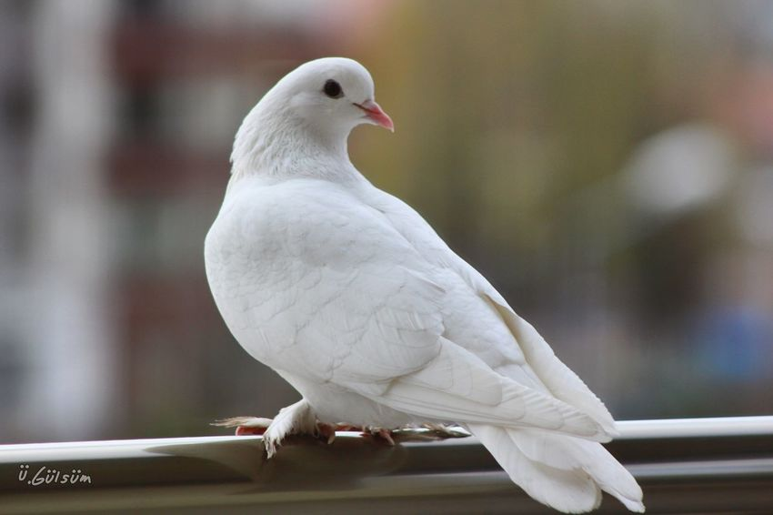 First Eyeem Photo Bird Animal Wildlife EyeEm Canonphotography EyeEm Nature Lover EyeEm Gallery White Pigeon Mourning Dove One Animal Animal Themes Animals In The Wild No People Nature Perching Close-up Day Beauty In Nature Outdoors Guvercin
