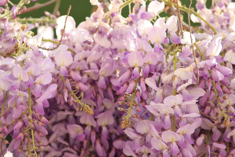 Purple Flowers Flower Tree Flower Head Branch Springtime Scented Pink Color Purple Blossom Full Frame Lilac Cherry Blossom In Bloom Cherry Tree Lavender Colored Lavender Stamen Pistil Apple Blossom Rhododendron Botany Wisteria Blooming Fruit Tree Hibiscus Passion Flower Orchard Petal Lily Plant Life