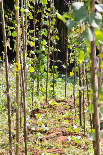 string bean in the garden String Bean Bamboo - Plant Beauty In Nature Close-up Day Farming Forest Freshness Growth Leaf Nature No People Outdoors Plant Sunlight Tranquility Tree Vegetable Vegetable Garden