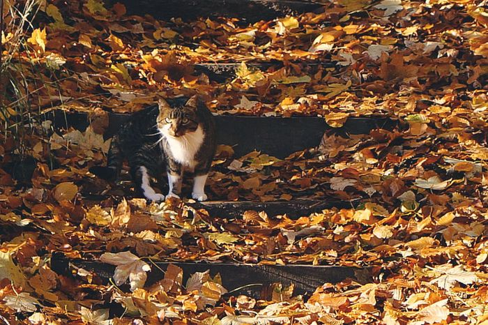 Animal Themes One Animal Autumn No People Outdoors Leaf Nature Day Coldoutside Cat Cats Of EyeEm Fallingleaves Silence Tranquility Autumnbeauty Eyeemphotography Hobbyphotography Beauty In Nature Animalportrait Looking At Camera