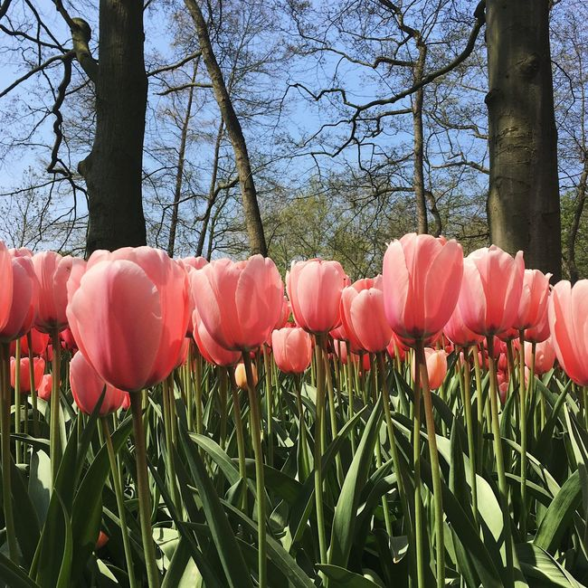 Tulips Beauty In Nature Tulip Tulips In The Springtime